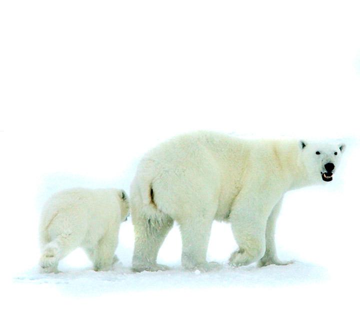Oso Polo Antártico Zanotti Green Solutions