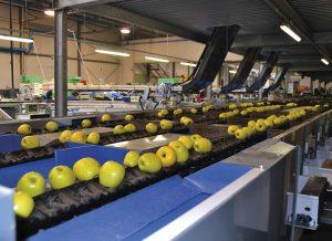 Lineal refrigerado en empresa comercializadora de fruta
